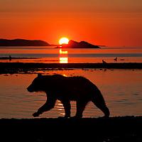 USA, Alaska, Katmai National Park, Grizzly Bear (Ursus arctos), Kukak Bay