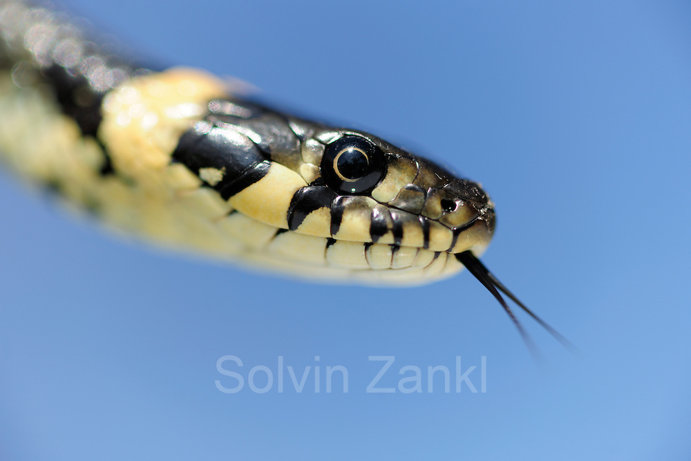The Grass Snake, sometimes called the Ringed Snake or Water Snake (Natrix natrix) is a European non-venomous snake. | Die Ringelnatter (Natrix natrix), ist eine in mehreren Unterarten in großen Teilen Europas und Asiens sowie Nordafrikas beheimatete Schlange, die zur Familie der Nattern (Colubridae) gehört.