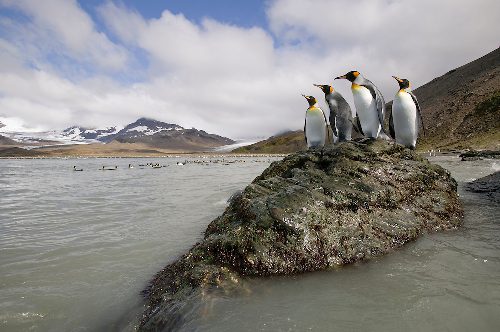 Antarctica, South Georgia Island (UK), King Penguins standing along rocky shoreline near massive rookery along Saint Andrews Bay