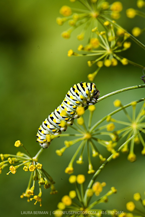 A Black Swallowtail butterfly caterpillar (Papilio polyxenes) munches on the stem of a dill flower.