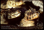 Yacare caimans pause after bloody meal of cow scraps before returning to Pantanal lagoon. Brazil