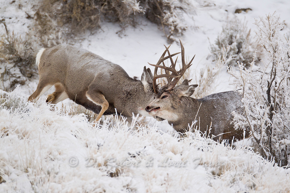 Dominant mule deer bucks fighting on a snowy day during the autumn rut.