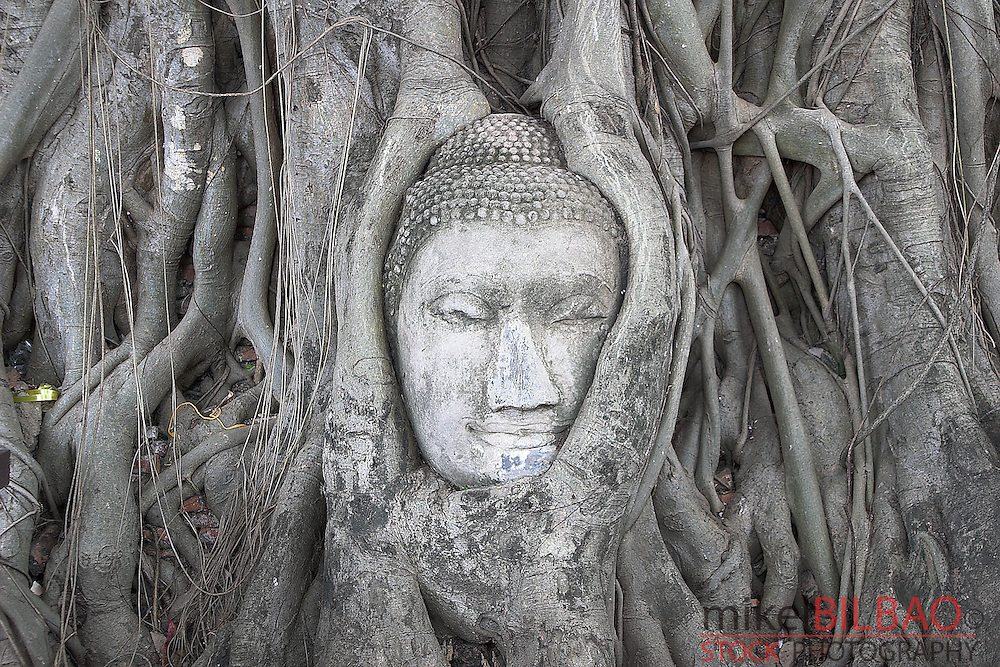 Bodhi tree grows around the head of a Buddha statue in Wat Phra Mahathat. Ayutthaya city, Thailand