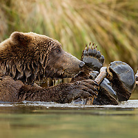 USA, Alaska, Katmai National Park, Grizzly Bear (Ursus arctos) floating on its back while playing with stick in river along Kinak Bay