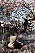 Amature japanese photographers taking pictures of cherry trees from the bridge over the canal that surounds the palace in Tokyo.  Every spring during the few weeks of cherry blossoms, japanese people enjoy the beauty of cherry-tree flowers by having small parties or walks in the parks and other locations where these trees blossom.