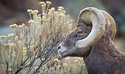 A bighorn sheep ram grazes on a slope of Bighorn Sheep Canyon.