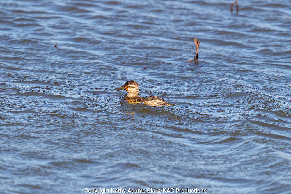 Ruddy duck, Oxyura jamaicensis, Anahuac National Wildlife Refuge, Texas, upper Texas coast, autumn