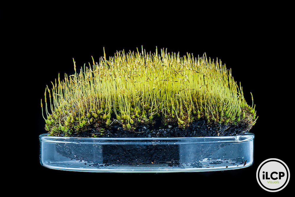 A clump of moss (bryophytes) sits in a petri dish before it is examined and placed back on the ground.