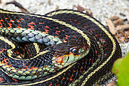 Common Garter Snake (Thamnophis sirtalis) coiled on the shore of Hicks Lake in Sasquatch Provincial Park, British Columbia, Canada