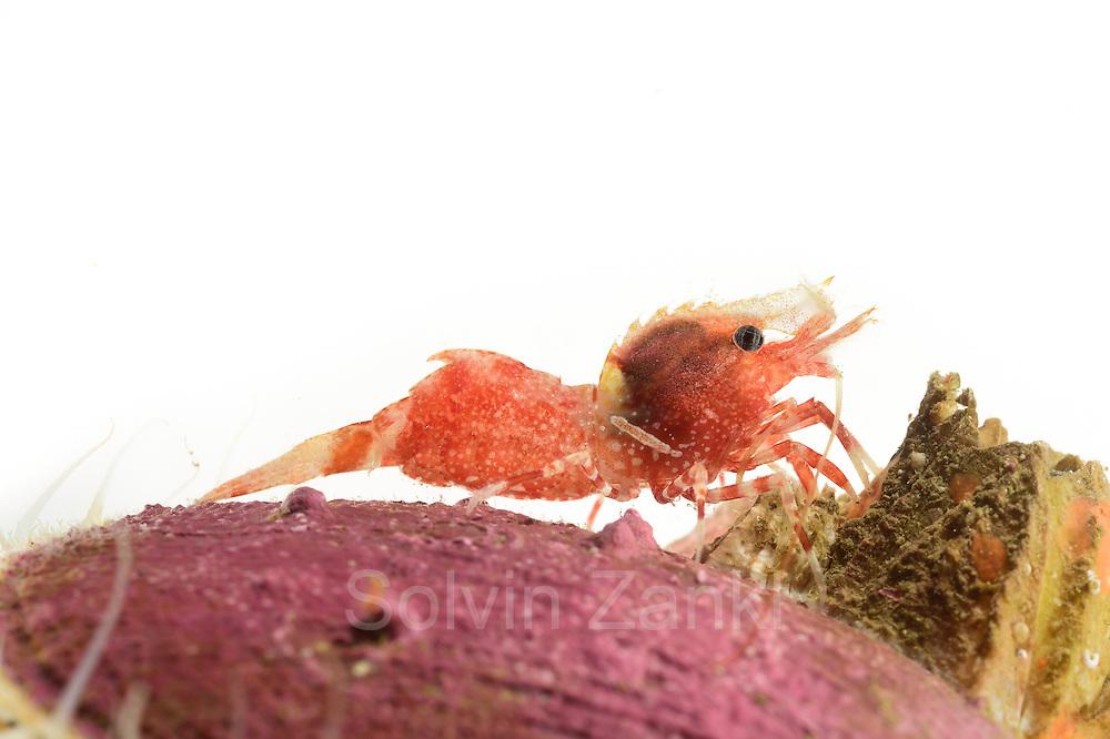 Shrimp (Spirontocaris spinus) Arctic Ocean, Svalbard, Spitsbergen, Norway   Garnele (Spirontocaris spinus) Nordatlantik / Arktischen Ozean, Spitzbergen, Norwegen