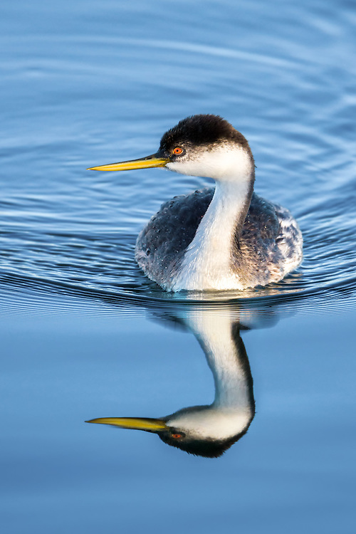 A portrait of a Western Grebe and its reflection.
