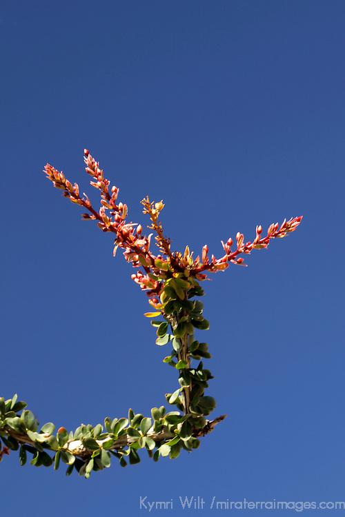 USA, California, San Diego County. Ocotillo in bloom at Anza-Borrego Desert State Park.