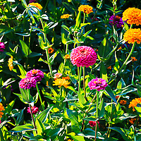Brightly colored Zinnia flowers in a garden.