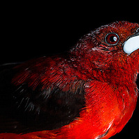 Crimson-backed Tanager, Ramphocelus dimidiatus, in Cocobolo Nature Reserve, Panama