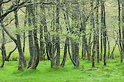 Grove of Birch trees in spring Glen Nevis Scotland