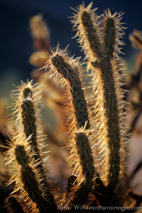 USA, California, San Diego. Backlit Jumping Cholla Cactus.