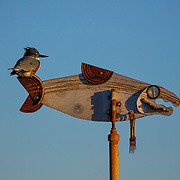 A female belted kingfisher (Megaceryle alcyon) rests on an art sculpture of a salmon near the Fishing Pier on the Edmonds waterfront in Washington state.