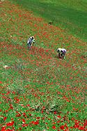 Women in Poppies field near Chefchaouen, Poppy Flower, Rif Mountains, Morocco