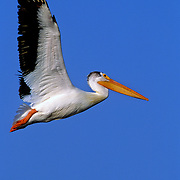White pelican in flight. Missouri River Headwaters State Park, Three Forks, Montana.