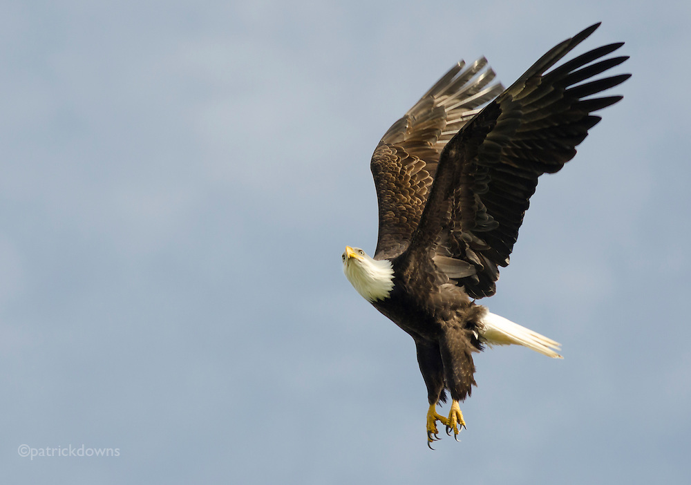 Bald eagle takes off from snag tree to hunt.
