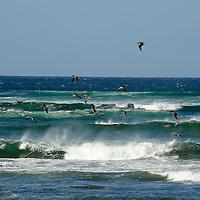 Brown pelicans ( Pelecanus occidentalis ) flying over the waves in Playa Avellanas.