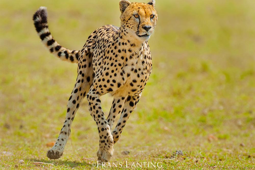 Cheetah male hunting, Acinonyx jubatus, Masai Mara National Reserve, Kenya