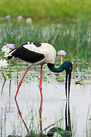 A female Jabiru or Black-Necked Stork forages in the Yellow Waters billabong in Kakadu National Park, Northern Territory, Australia