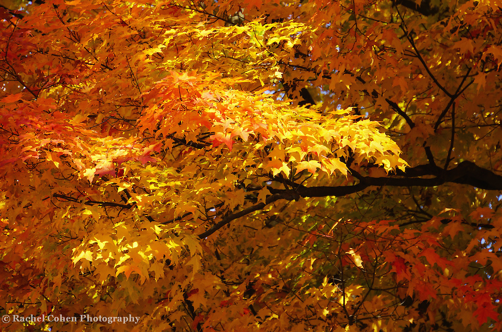 &quot;Sweet Sweet Autumn&quot; <br /> <br /> Purely gorgeous fall color!