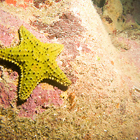 A yellow cushion star fish near spooky channel in Roatan, Honduras