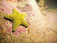A yellow cushion star fish near spooky channel in Roatan, Honduras
