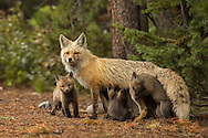 While both parents provide food for their kits, it is the vixen who spends the most time with caring for her growing family. At this young age, kits are nursed multiple times each day, forming a strong bond between mother and her little ones.