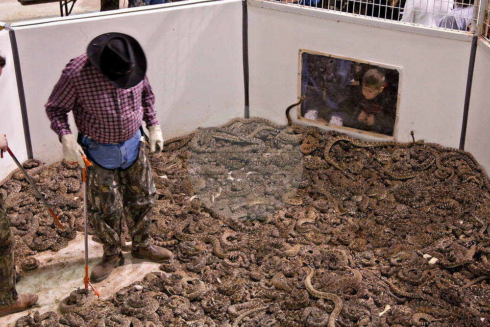 A Jaycee volunteer snake handler works the western diamondback rattlesnake pit during the 51st Annual Sweetwater Texas Rattlesnake Round-Up March 13, 2009 in Sweetwater, Texas. During the three-day event approximately 240,000 pounds of rattlesnake will be collected, milked and served to support charity.