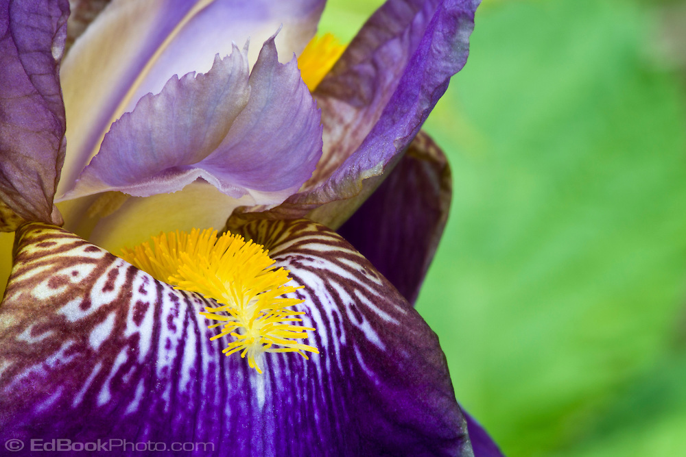 Closeup of a Purple Bearded Iris (Iris germanica) blooming in springtime.
