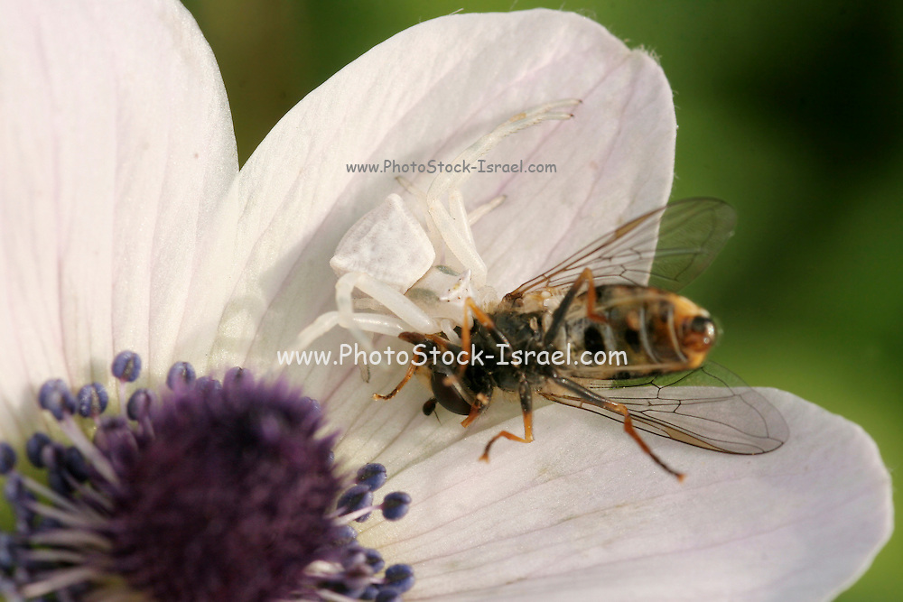 Close up of a crab spider (Thomisus onustus) eating a fly on an Anemone coronaria