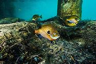Bluegill (on nest)<br /> <br /> Jennifer Idol/Engbretson Underwater Photography