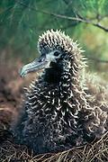 Laysan Albatross chick on nest.(Diomedea immutabilis).Kilauea  National Wildlife Refuge; Kauai, Hawaii.
