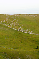 Sheep, band, grazing, Bighorn National Forest, Wyoming