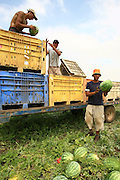 Israel, Moshav Sde Yitzhak, Agricultural workers collect watermelons in a field
