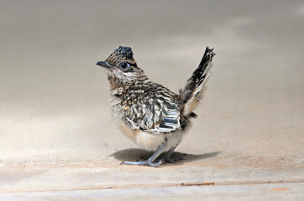 mp081911d/METRO/MorganPetroski/081911 -- A roadrunner chick outside Albuquerque Publishing Company in Journal Center, Friday, August 19, 2011. (Morgan Petroski/Albuquerque Journal).