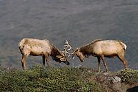 Tule elk (Cervus elaphus nannodes) lock horns.