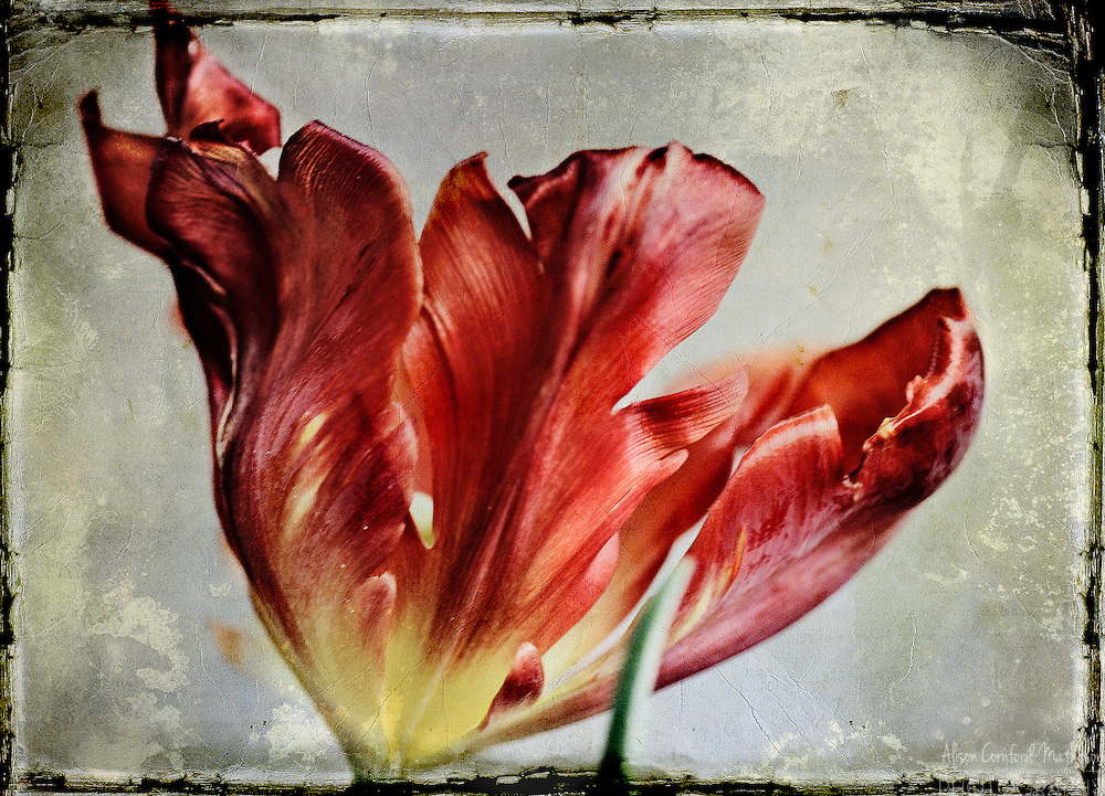 Faded Tulip - Timeless Garden Series<br /> <br /> The images in the Timeless Garden Series are available to order as fine art prints. Please contact me for details.