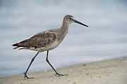 Willet (Tringa semipalmata)<br /> Little St Simon's Island, Barrier Islands, Georgia<br /> USA<br /> HABITAT &amp; RANGE: Coastal saltmarshes from Nova Scotia to Mexico and the Caribbean.