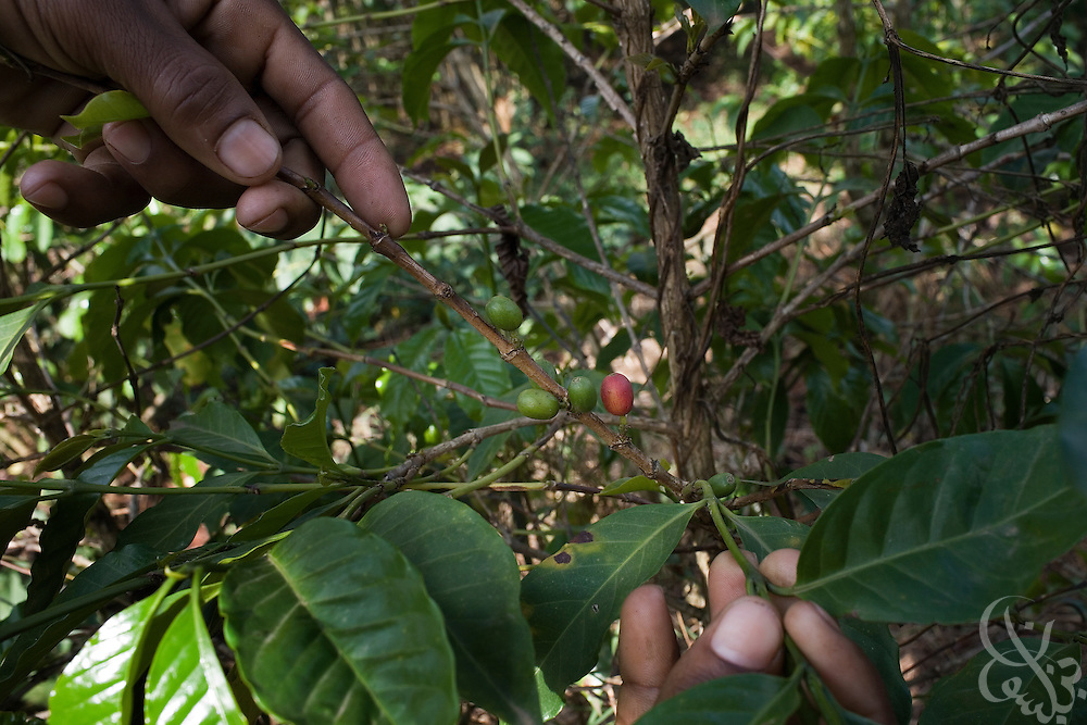 "Coffee farmer Hagirso Funte  checks his trees after a rainstorm February 24, 2007 in the Sidamo coffee region of southern Ethiopia near the town of Yirgalem. Funte is able to yield 600 kilos of red coffee ""cherries"" for market from the 400 trees he has on his modest farm."