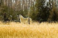 White Horse, (Equus caballus), Paradise Valley, south of Livingston, Montana