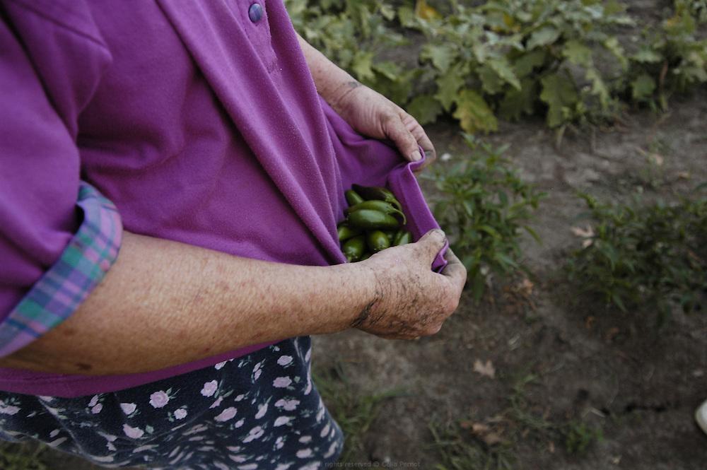 DANJO FARMS, exploitation familiale de 15 hectares. Récolte journalière pour le country store des Nelson et pour la préparation des paniers paysan.