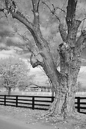 Dead tree near four plank fence at the Kentucky Horse Park.  Infrared (IR) photograph by fine art photographer Michael Kloth. Black and white infrared photographs