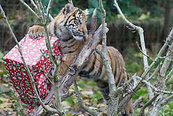 ZSL London Zoo, London, December 15th 2016. Christmas comes ten days early for the Sumatran tiger cubs at at ZSL London Zoo. Mother Melati and her two cubs Achilles and Karis wake up to Christmas presents in their enclosure and the two unruly six-month-old cubs set about opening them. PICTURED: Easily distracted Keris pauses in her task of removing a present from a tree.