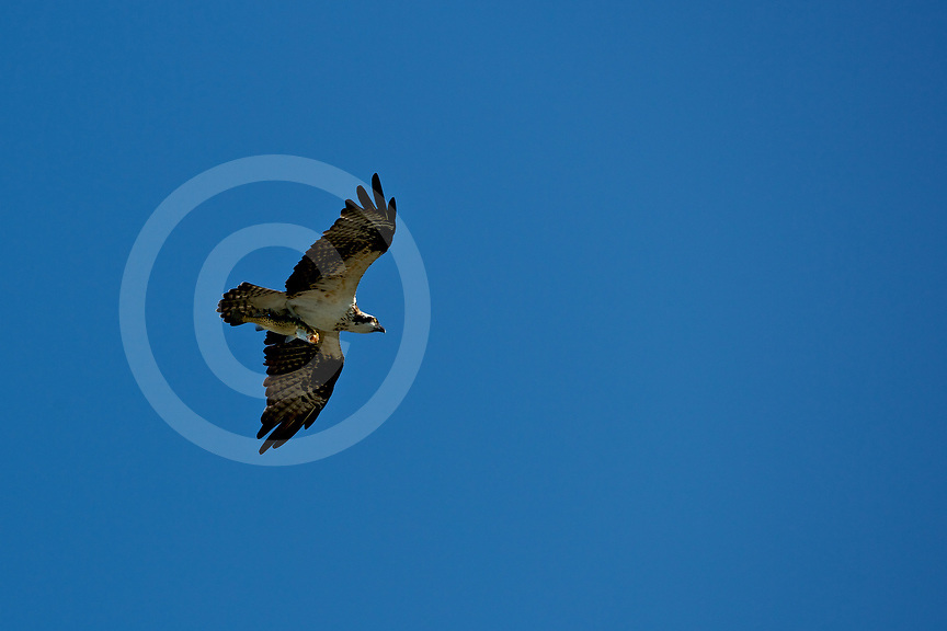 Osprey with fish Captiva Island.  Photo by Brian Tietz<br /> www.briantietz.com<br /> mail@briantietz.com