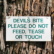 """A sign warns """"DEVILS BITE, PLEASE DO NOT FEED, TEASE OR TOUCH"""" at Bonorong Wildlife Park, Brighton, Tasmania, Australia. The Tasmanian devil (Sarcophilus harrisii) is a carnivorous marsupial of the family Dasyuridae, now found in the wild only on the island state of Tasmania. The devil is an iconic symbol of Tasmania and attractor of tourists, many of whom know the Looney Tunes cartoon character, the """"Tasmanian Devil."""" Ancient marsupials probably migrated from what is now South America to Australia tens of millions of years ago during the time of Gondwana. Tasmanian devils probably disappeared from the Australian mainland around 3000 years ago due to predation by dingoes (wild dogs probably introduced by aborigines much earlier), which are absent on Tasmania. Formerly hunted by humans, the devils became officially protected in 1941. Since the late 1990s, devil facial tumor disease has drastically reduced devil numbers, and in 2008 the species was declared endangered. Illegally introduced red foxes kill devils, and motor vehicles dispatch devils that are on the road eating other road kill. Due to export restrictions and the failure of overseas devils to breed, almost no devils live legally outside of Australia. The size of a small dog, the Tasmanian devil became the largest carnivorous marsupial in the world following the extinction of the thylacine in 1936. It has a stocky and muscular build, black fur, pungent odor, extremely loud and disturbing screech, keen sense of smell, and ferocity when feeding. It has an exceptionally strong bite, hunts prey, scavenges carrion, climbs trees, and swims across rivers."""