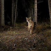 A wounded mounatin lion (Puma concolor) photographed in Big Hole National Battlefield, Montana. The wound might be the result of attacking a bull elk or mule deer buck - a defensive antler wound.